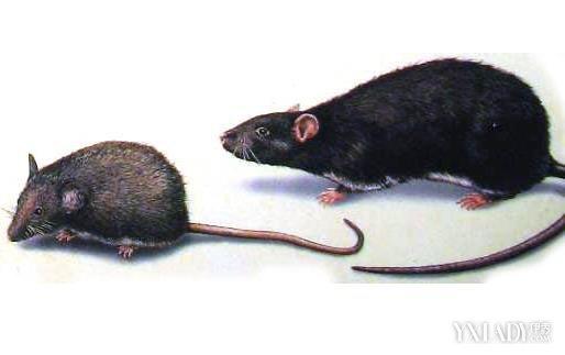 老鼠装死咬伤大妈