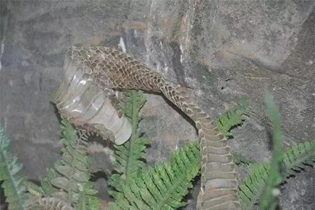 蛇脱皮后的蛇皮功效与作用