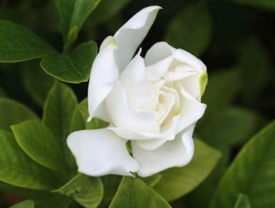 怎样让栀子花开花妙招 首先你要让栀子花保持湿润