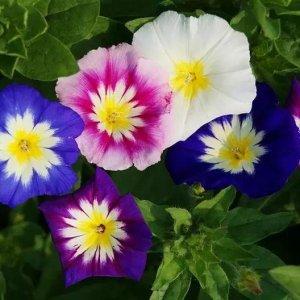 牵牛花种植方法 盆栽牵牛花多久开花