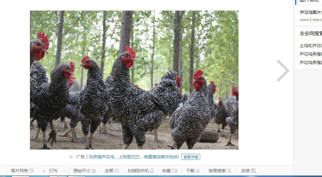 芦花鸡养殖