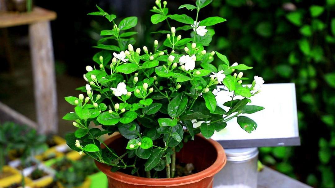 茉莉花的种植方法