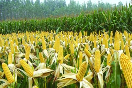 常吃玉米可以美容吗?玉米的作用与功效详情介绍!