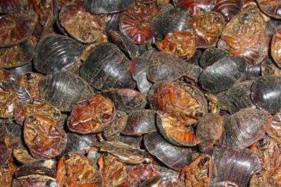 土鳖虫的功效与作用 四个女人服用土鳖虫的药用功效