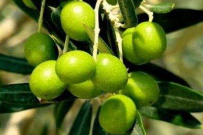油橄榄果油的功效与作用 五个女人吃油橄榄果油的营养价值
