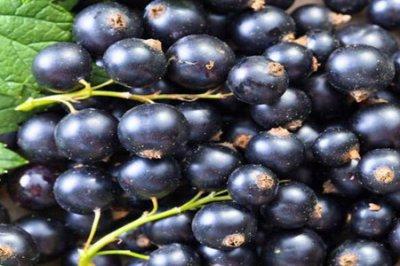 黑加仑的功效和作用 五个黑加仑葡萄的营养价值