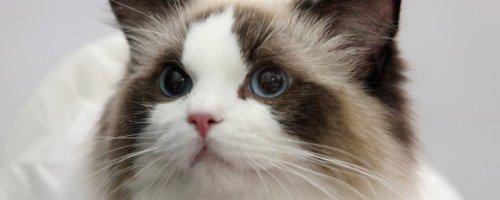 猫减肥食谱
