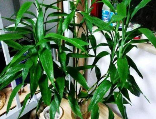 土培富贵竹怎么养