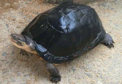 南石龟怎么养
