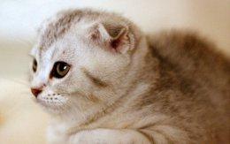 折耳猫的简单正确饲养方法