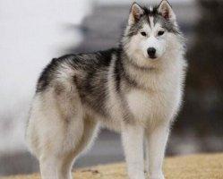 宠物狗品种图片大全 看了这个你会认识很多狗狗