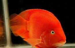 财神鱼怎么养?财神鱼养殖方法分享