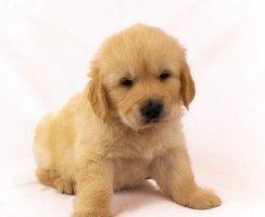 爱宠一族必知:金毛幼犬喂养注意事项