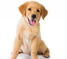 【宠物犬知识】金毛犬怎么看纯不纯
