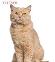 最适合家养的猫 哪些猫最适合在家养