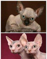 斯芬克斯猫多少钱一只 斯芬克斯猫的身体性格特征