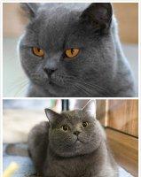 英国短毛猫好养吗 英国短毛猫的饲养方法