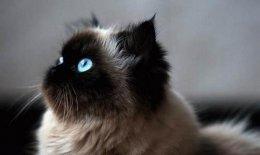 逞罗猫有十个品种 哪种比较好养?