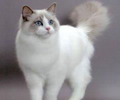 掌握布偶猫的一些饲养注意事项