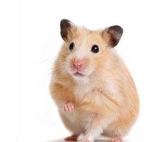 养仓鼠知识:仓鼠怎么洗澡