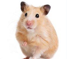 仓鼠怎么训练?详解仓鼠的训练小方法