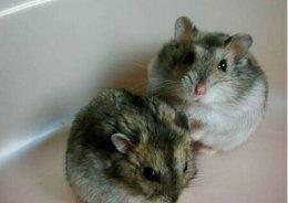 三线仓鼠怎么饲养?三线仓鼠饲养技巧
