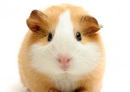 养仓鼠是否会染上鼠疫?饲养仓鼠的禁忌