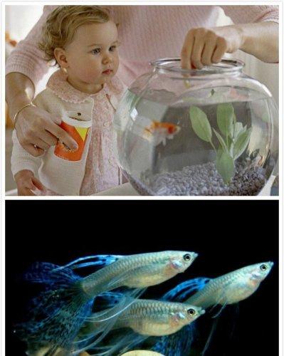 孔雀鱼吃什么好及饲养和选购方法