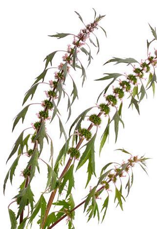 盛传益母草的两大食用方法