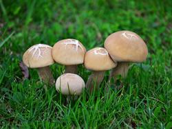 母女俩吃野蘑菇中毒 如何分辨野蘑菇能不能吃