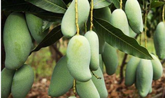 青芒果怎么吃 为你解锁正确的食用方法