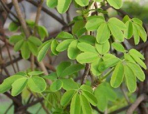 木通的功效与作用及禁忌 木通的副作用