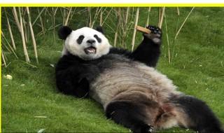 熊猫为什么喜欢吃竹子 看了你就知道
