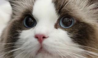 猫减肥食谱 猫咪减肥食谱