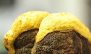 桑黄怎么吃效果最好 怎么吃桑黄效果最好