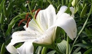 百合切花的养殖方法和注意事项 百合切花养殖需要注意什么