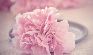 三朵康乃馨的花语 康乃馨介绍