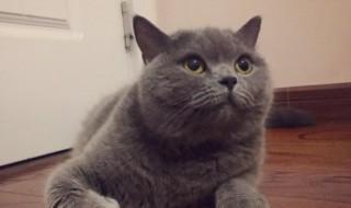 英短蓝猫怎么养 英短蓝猫饲养方法
