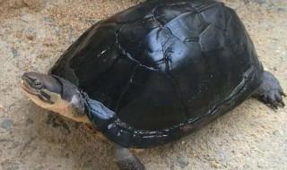 南石龟怎么养 南石龟养殖方法